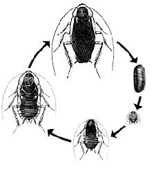 hamam böceği başkalaşım