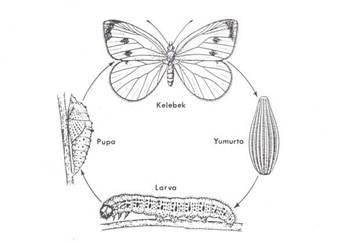 İpek Böceği Gelişim Evreleri