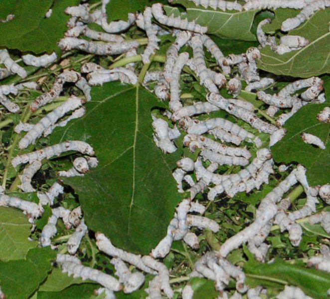 İpek Böceği