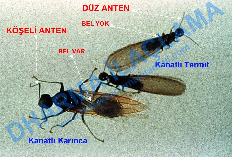 kanatlı karınca, kanatlı termit karşılaştırması